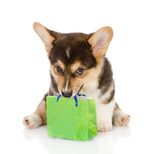A pedigree puppy with a paper bag.