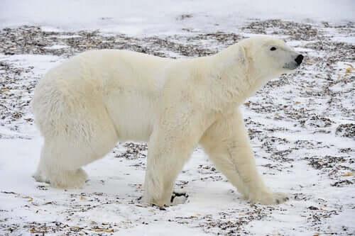 A Polar Bear walking.