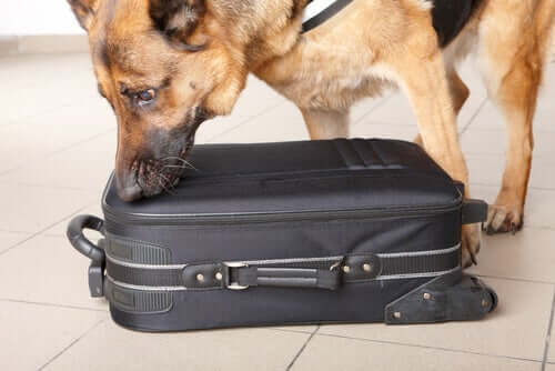 One of many police dogs sniffing a suitcase.