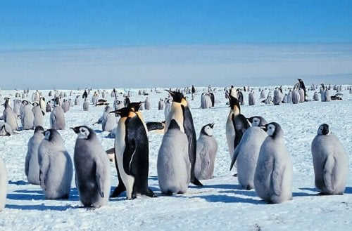 It's a Hard Life for the Emperor Penguin!