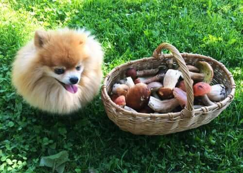A small dog next to a basket of mushrooms.