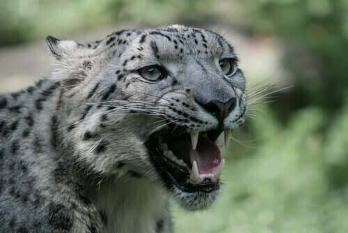 A snow leopard growling.
