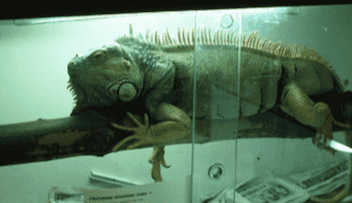 A pet iguana in a cage.