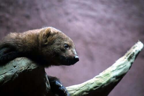 The Least Weasel: Habitat, Behavior and Characteristics