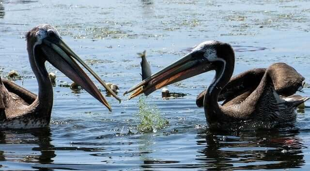 Two pelicans eating fish.