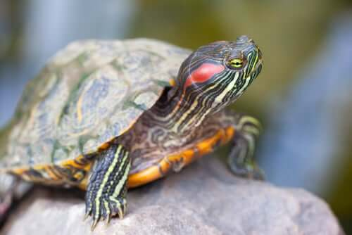 A red-eared species of turtle on a rock.