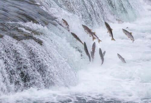 The Salmon Run - An Amazing Journey