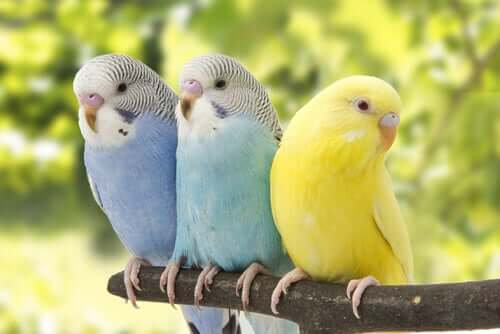 Three parakeets on a perch.