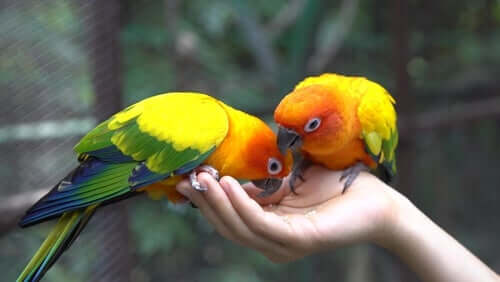 Two parrots eating from someone's hand.