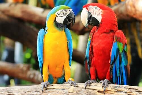 Two parrots on a branch.