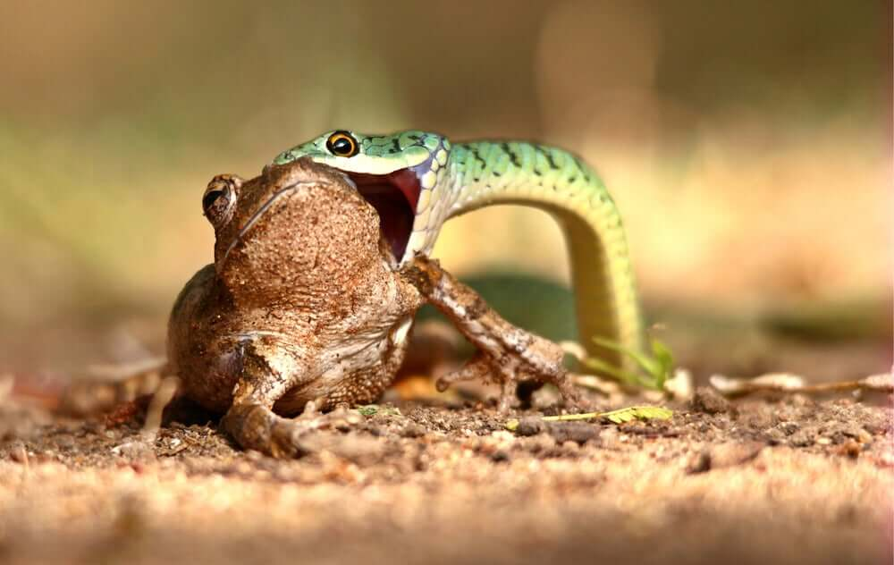 A snake eating a frog.