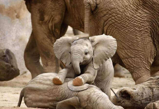 Baby elephants playing.