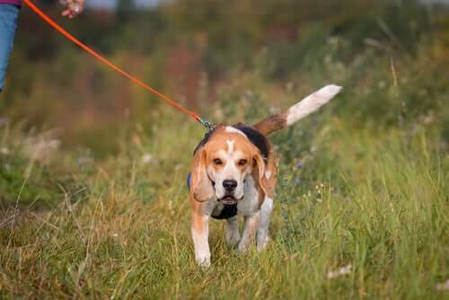 A beagle walking in a field.