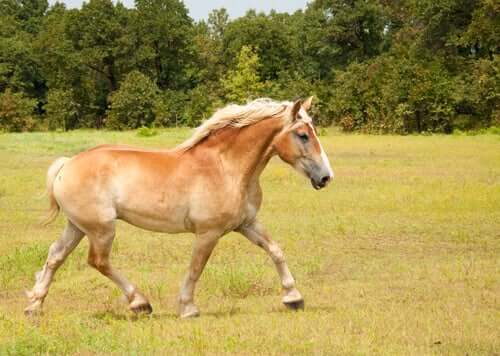 Discover the Belgian Draft Horse