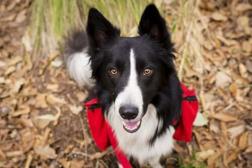 A border collie trekking.