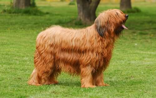 The Briard: An Intelligent and Lively Breed