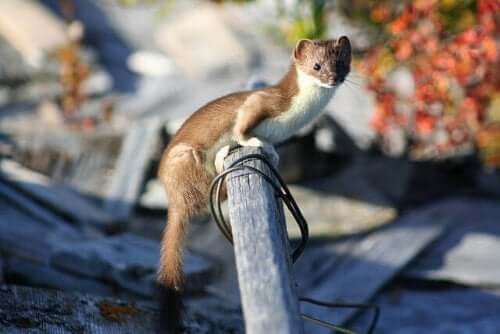 A curious least weasel on camera.