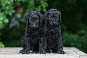 "Two ""Curly"" puppies."