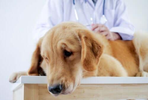 A dog undergoing a medical exam.