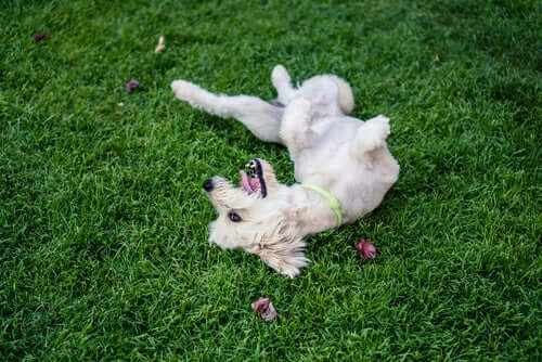 A dog playing in the grass.
