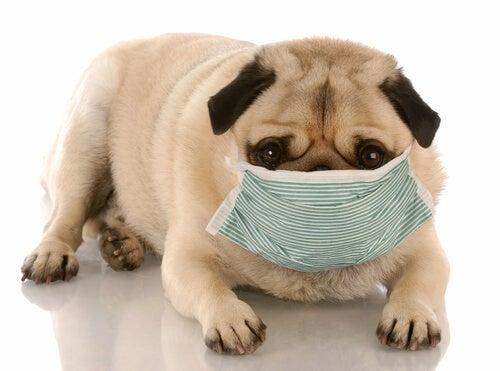 A sick dog wearing a mask.