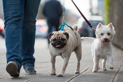 Two dogs going for a walk.