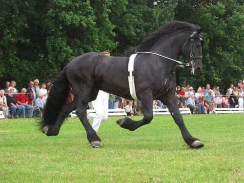 A friesian horse in a contest.