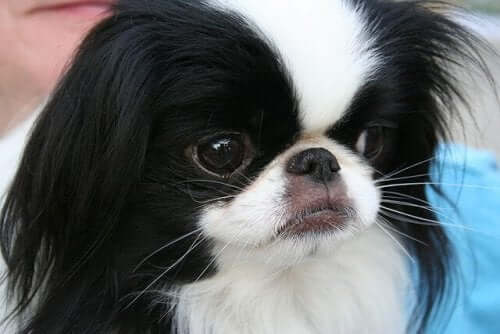 A close-up of a Japanese Chin dog.