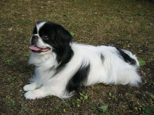 Meet the Noble Japanese Chin: An Aristocratic Dog