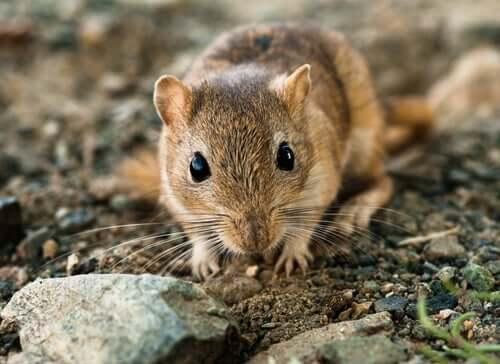 A gerbil close-up.