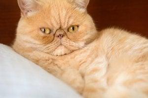 A Persian cat.