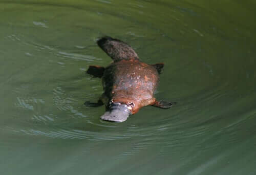 The Platypus is an oviparous animal.