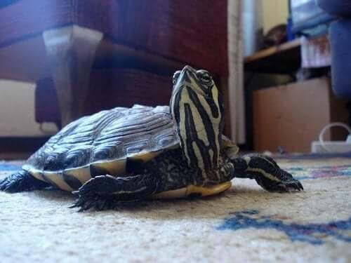 A Russian Tortoise pet.