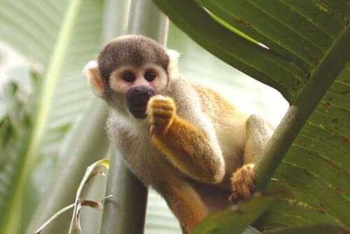 A small monkey eating fruit.