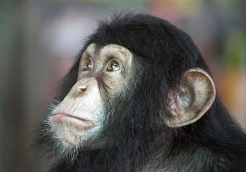 A close-up of a small chimpanzee.