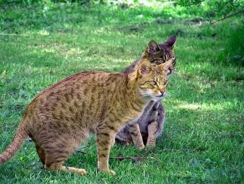 The Ocicat: A Wild-Looking Domestic Cat