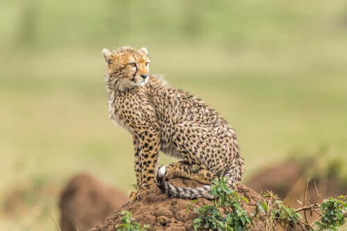 8 Feline Species That Live in the Wild