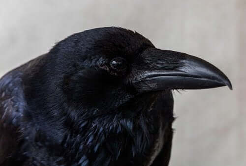 A closeup of a crow.