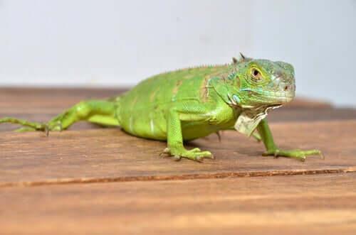 A lizard on a table.