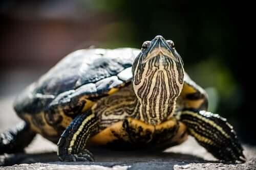 A turtle lifting their head.