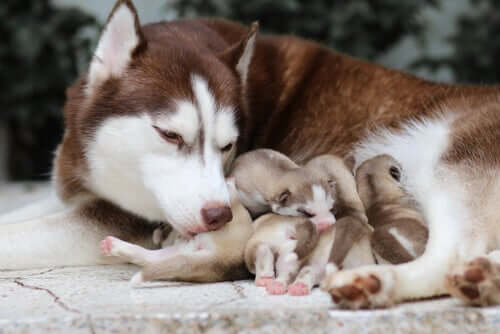 Dog gives birth to puppies.