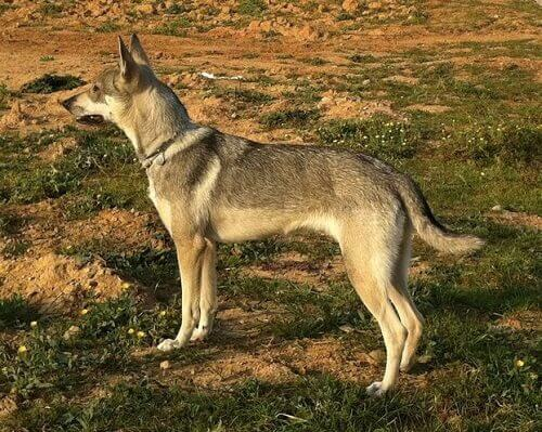 Hierran Wolfdogs