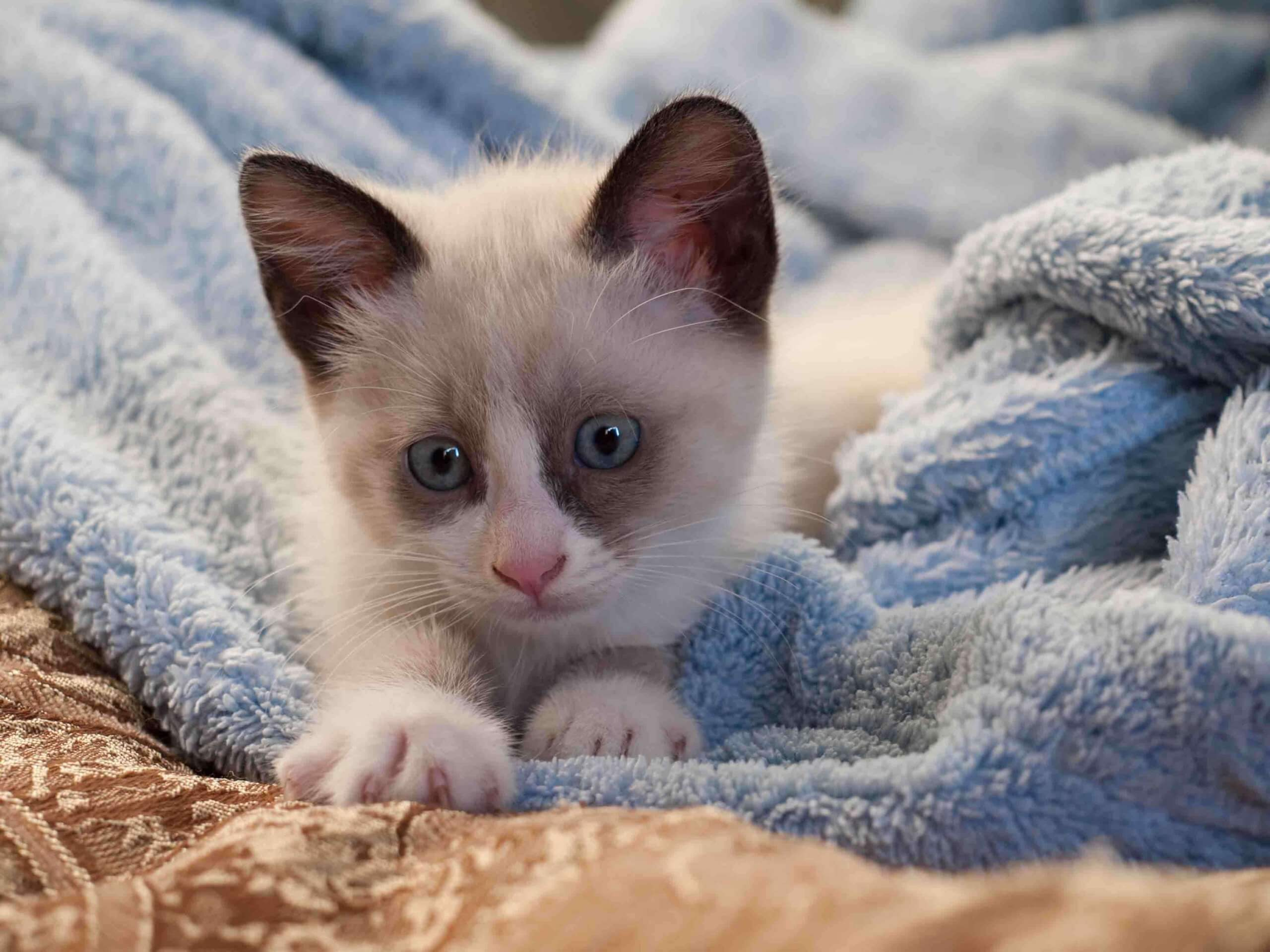 A Snowshoe kitten in a blue blanket.