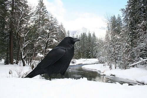 The Crow in Popular Culture and Mythology