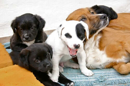 What Is Canine Puerperium?