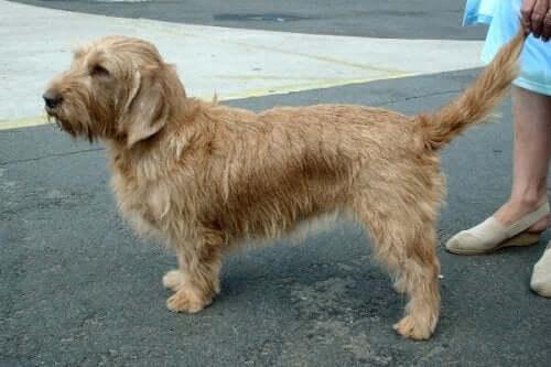 The Basset Fauve de Bretagne: A Champion Scenthound