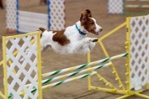 A dog jumping.