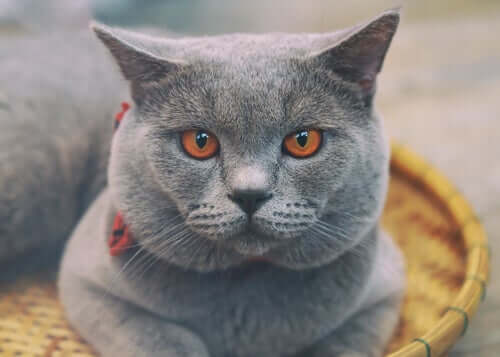 Discover the Rare Chartreux Cat