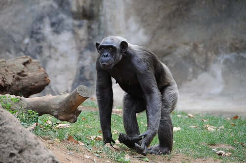A shot of a walking chimpanzee.