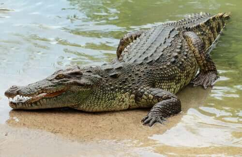 A crocodile at the water's edge.